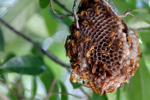 印度側異腹胡蜂 Parapolybia indica