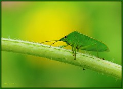 Green Bug (MEaves) Tags: macro green nature closeup bug insect illinois stem pentax stinkbug shieldbug potofgold sigma105mm specanimal k10d pentaxk10d buzznbugz macrolife pentaxart