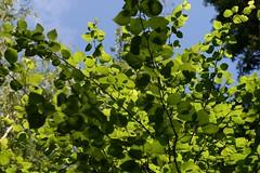 Puu (Osssu) Tags: wood summer green leaf colours 50mm14 puu kes vihre vrit lehdet canoneos400d