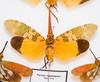 CD437 Lantern Fly - Pyrops candelarius (listentoreason) Tags: usa nature animal closeup america canon insect newjersey unitedstates favorites places animalia arthropoda invertebrate planthopper arthropod tomsriver insecta hemiptera pterygota auchenorrhyncha fulgoroidea neoptera ef28135mmf3556isusm score30 fulgoridae lanternfly bugmuseum insectidentification exopterygota insectropolis fulgoromorpha animalidentification bugseum hemipterodea