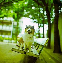 on the bench (moaan) Tags: park dog tree green 120 6x6 smile smiling mediumformat bench corgi dof bokeh september squareformat utata welshcorgi 2009 f28 kodak