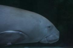 Dugong (lfom5608) Tags: sydney australia sydneyaquarium