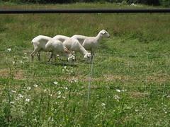 Waiting their turn (4upsilamba) Tags: camping vermont sheep hiking merck