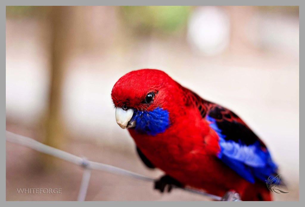 Crimson Rosella parrot in Sherbrooke Forest