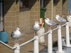 19-09-2009 Oostende (Johnny Cooman) Tags: haven bird animal port landscape puerto belgium belgique harbour seagull gull belgi natuur row westvlaanderen porto hafen oostende bel dieren meeuw aaa ostend vogel landschap flanders belgien westflanders ostende blgica rij vlaanderen flandern belgia zeemeeuw flandre flandes  flemishregion canons5