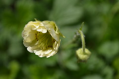 GEUM 'Chipchase'