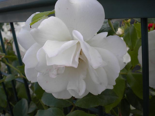 千葉~白い花