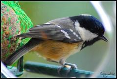 Coal Tit (Parus ater) (j.imac) Tags: bird tit birdwatcher coaltit parusater supershot abigfave flickrdiamond overtheexcellence natureselegantshots