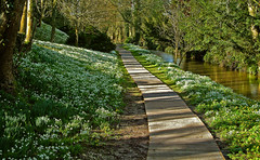 Snowdrops at Heale House in Wiltshire