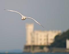 .. in volo .. (MaxMat) Tags: sky panorama castle animal reflex raw mare seagull natura lungomare castello miramar animali paesaggio gabbiano trieste miramare triest 70300 barcola olympuse500 600mm teleobiettivo olympus70300