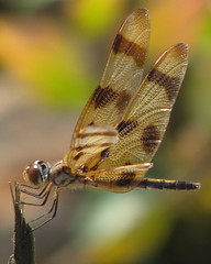 balancing in the wind II (Vicki's Nature) Tags: canon georgia ode dragonfly s5 halloweenpennant odonate natureoutpost goldstaraward vickisnature beautifulworldchallenges vosplusbellesphotos celithemiseponima