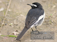 White-Browed Wagtail (Dr. Adnan N. Qureshi) Tags: bird birds animals fauna nikon large aves 300mm pied f4 wagtail motacilla whitebrowedwagtail motacillamadaraspatensis largepiedwagtail whitebrowed adnanqureshi madaraspatensis