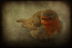 how the robin got his red breast (-justk-) Tags: copyright bird nature robin animal redrobin dreamcatcher redbreastedrobin otw fineartphotos lesamisdupetitprince thewonderfulworldofbirds artofimages flickrsmasterpieces allmyimagesarecopyrightedallrightsreserveddonotusecopyandeditmyimageswithoutmypermission