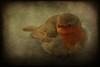 how the robin got his red breast (-justk-) Tags: copyright bird nature robin animal redrobin dreamcatcher redbreastedrobin otw fineartphotos lesamisdupetitprince thewonderfulworldofbirds artofimages flickrsmasterpieces allmyimagesarecopyrighted©allrightsreserveddonotusecopyandeditmyimageswithoutmypermission