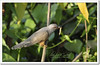 Plaintive Cuckoo (Cacomantis merulinus), adult male (Z.Faisal) Tags: green bird nature nikon beak feathers aves prey nikkor bangladesh cuckoo avian bipedal bangla hunt faisal feni desh d300 zamir plaintive cacomantis pakhi plaintivecuckoo cacomantismerulinus endothermic nikkor300mmf4 muhuri kokil zamiruddin zamiruddinfaisal koroonkokil koroon merulinus zfaisal muhuriproject muhuridam sorgom