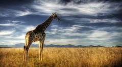Long neck (momentaryawe.com) Tags: africa field southafrica wildanimal giraffe gamepark