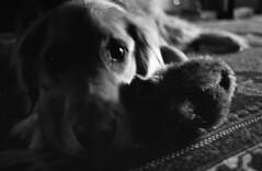Tori (Robert Hakim) Tags: dog film goldenretriever canon a1 tori imasucker selfdeveloped heyashotkindacameout asupersucker shadeofgreyretreiver