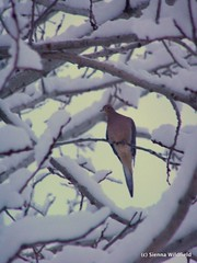 Winter Morning Dove