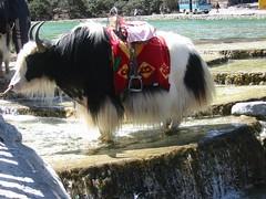China, yak