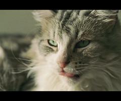 Meet Billy, former Katty boyfriend (LinoPhilippe) Tags: chile santiago cats film cat kitten feline chat kitty gatos gato felino katze gatto katzen matou chatte chaton proimage100 hauskatze felidi