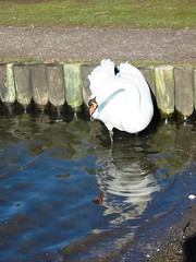 Runny nose (enchantedbirdsandhorses) Tags: white water wales droplets swan cymru cardiff tremorfa tredelerchpark