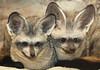 Bat-eared fox (floridapfe) Tags: cute animal zoo nikon long korea fox everland 에버랜드 bature batearedfox d80 bateared vosplusbellesphotos