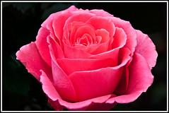 Rosier than Rose (TT_MAC) Tags: pink plant flower nature floral rose garden blossom bloom brillianteyejewel spiritofphotography masterflower flickrflorescloseupmacros
