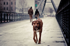 Brutus - Der will nur spielen! :-P (Der Theo ) Tags: snowflake winter dog color berlin playground canon germany 85mm explore usm ridgeback mitte friedrichshain ef prenzlauerberg mauerpark rhodesian 118
