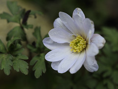 Anemone blanda (Britta's photo world) Tags: plant flower spring britta 60mmf28dmicro niermeyer d3x
