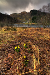 The First Signs (Shuggie!!) Tags: landscape scotland williams karl bracken loch trossachs hdr daffodils aberfoyle dhu explored 9exp karlwilliams newgoldenseal