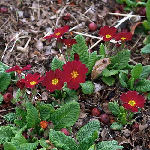 Missouri Botanical Garden (Shaw's Garden), in Saint Louis, Missouri, USA - Primula 'Alejandra' Primulaceae