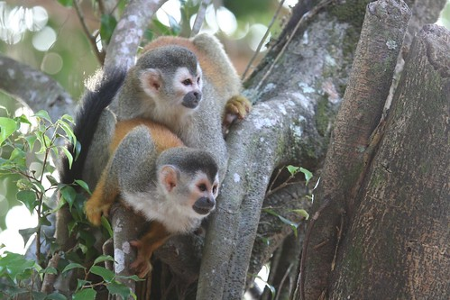 2009-02-22--Squirrel_Monkeys.jpg