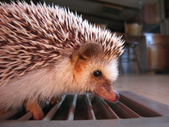 Marathon side (Go! Shawn!) Tags: cute nose floor marathon adorable hedge hog quils erinaceinae