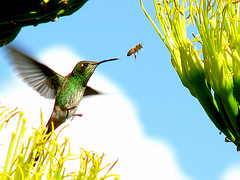 despus me toca a m (.el Ryan.) Tags: argentina may mendoza colibr chacrasdecoria