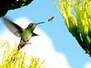 después me toca a mí (.el Ryan.) Tags: argentina may mendoza colibrí chacrasdecoria