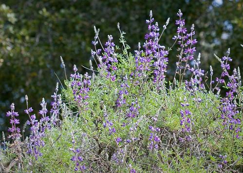 Lupine sp. by you.
