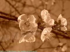 2009-03-26 218 apricot blossoms (Badger 23 / jezevec) Tags: trees flower tree fleur forest log timber flor boom apricot   blume fiore albero arbre 2009 strom baum puno prunus bloem cais    albaricoque drzewo aprikose  albicocca    abricot abrikoos kvt aprikos vbr      aprikoosi   prunusarmeniaca   wabigon  alperce  parmeniaca badger23  abrikosas rvore rbol trd 20090326  aprikozes