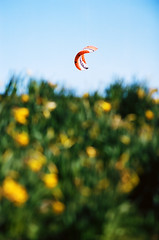 KITE FLYING (Tyrone Fleming) Tags: flowers grass bokeh bluesky kiteflying nikonf6 anawesomeshot theunforgettablepictures kodakektar100film