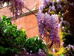 Grape Tree (WELS.net) Tags: flowers plant building tree grass bush purple streams grape wels jcarlile
