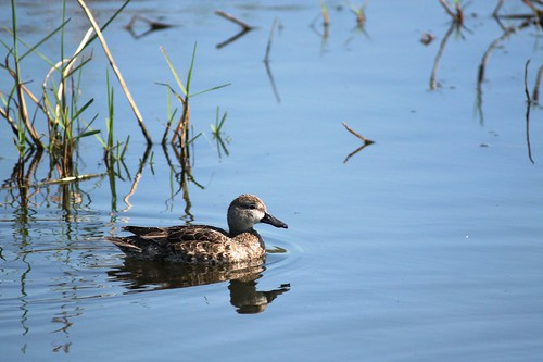 Blue-winged Teal - 3/16/2009