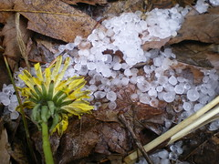Ice and Water #7 (tt64jp) Tags: nature hail h2o dandelion  hailstorm    kitakaruizawa  tsumagoi