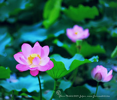 Lotus. Buddha's Flower.  Glenn E Waters  1,900 visits to this photo.  Thank you. (Glenn Waters in Japan.) Tags: pink flower beautiful japan nikon lotus aomori hirosaki  moat buddah    buddaha    buddhasflower glennwaters