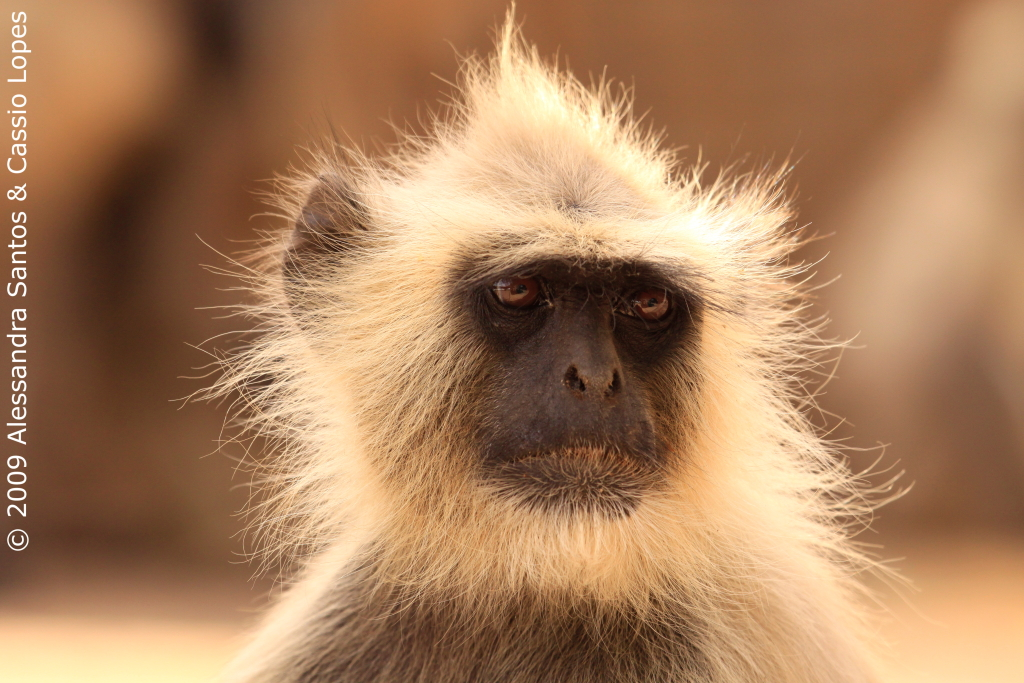 Langur Perfect Portrait
