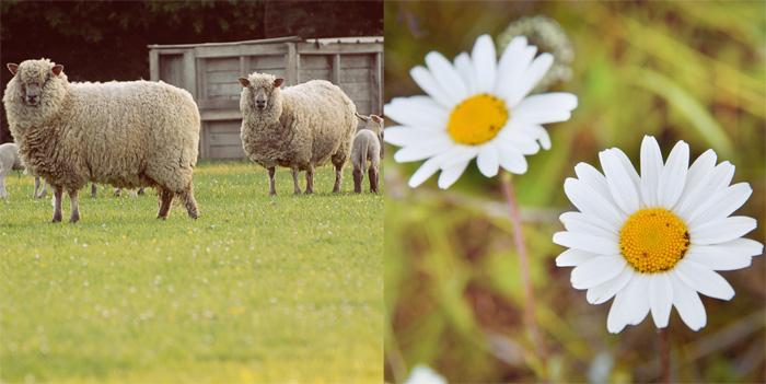 duo-moutons-pâquerettes