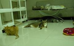 DSCN6581 (jacky elin) Tags: home cat play lin wei jacky 貓 jammy 200907