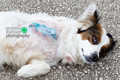 Mixed Breed Dog with Amputated Front Leg (antoniodalbore) Tags: dog color male horizontal mammal canine nobody fromabove medical surgical wound handicap scar handicapped amputation veterinary veterinarymedicine canis