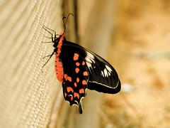 The Butterfly Effect.... (Anish Krishnan [anishk.in]) Tags: park red india macro crimson hector national karnataka banglore bannergatta pachilopta mk090704
