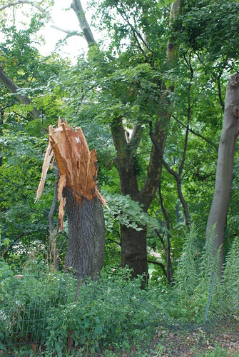 Remains of a Central Park tree knocked down by Microburst windstorm On August 18 2009