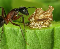 Tender Ant & Hopper Flock (zxgirl) Tags: bug insect ant flash egg insects bugs ants eggs treehopper s5 tending microcosm hymenoptera carpenterants carpenterant dcr250 raynox hemiptera tend formicidae camponotus auchenorrhyncha aculeata hemipterans membracidae img1110 treehoppers entyliacarinata entylia formicinae vespoidea cicadoidea camponotuschromaiodes