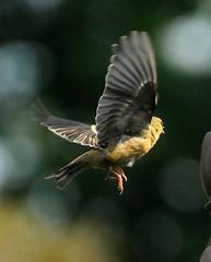 _DSC4140 (pnther60) Tags: backyard roanoke floraandfauna